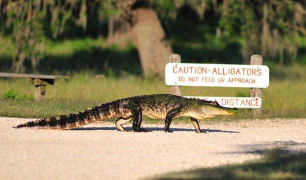 aligator-floryda-przejscie