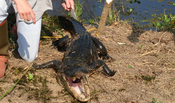 aligator-floryda-zlapany