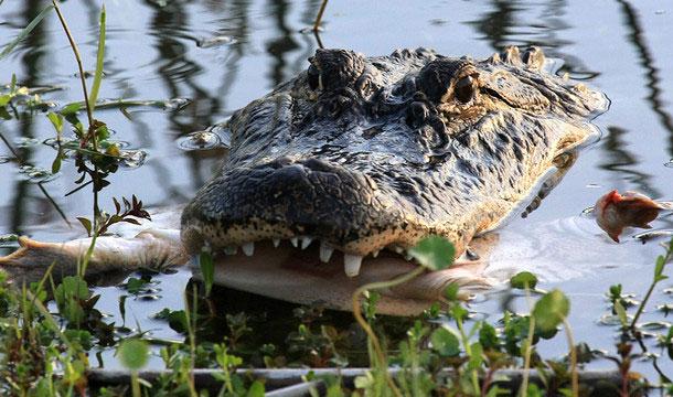 aligator-floryda