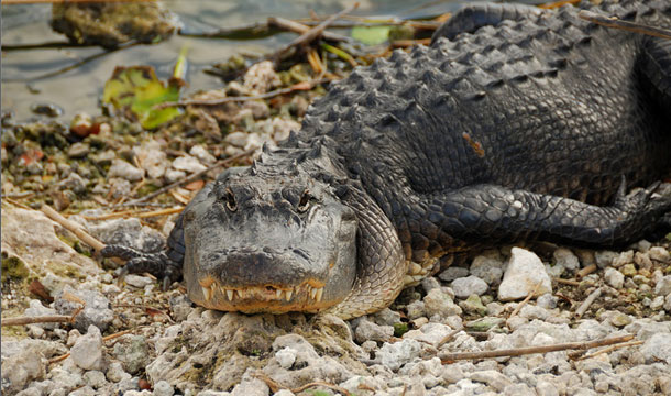 floryda-aligator-lezy