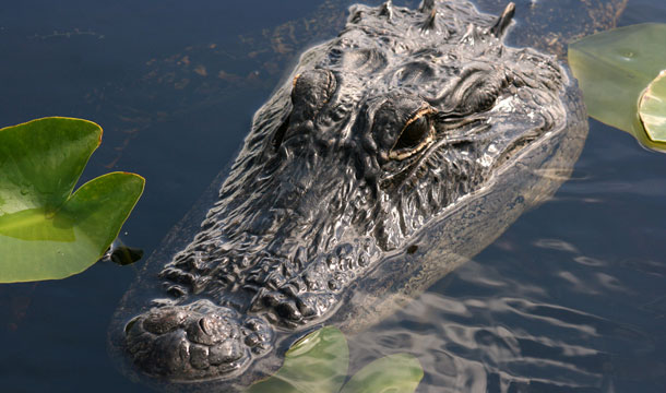 floryda-aligator-maly