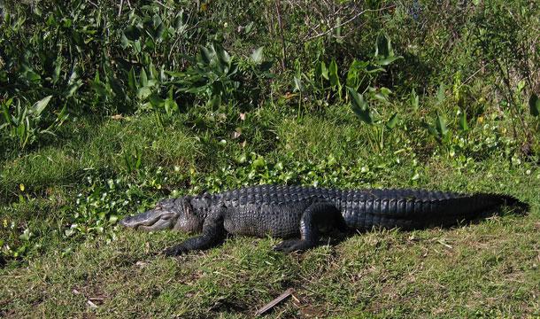 floryda-aligator