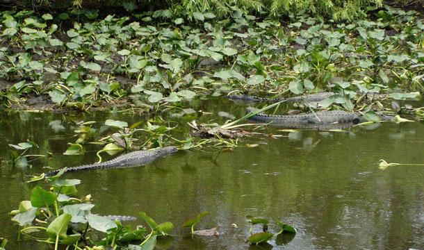 floryda-aligatory-trzy