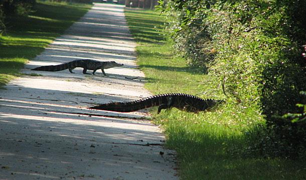 floryda-aligatory