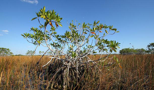 floryda-everglades-mangrowiec