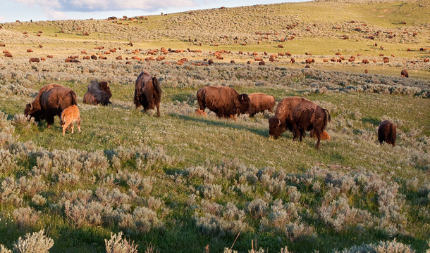 yellowstone-park-bizony