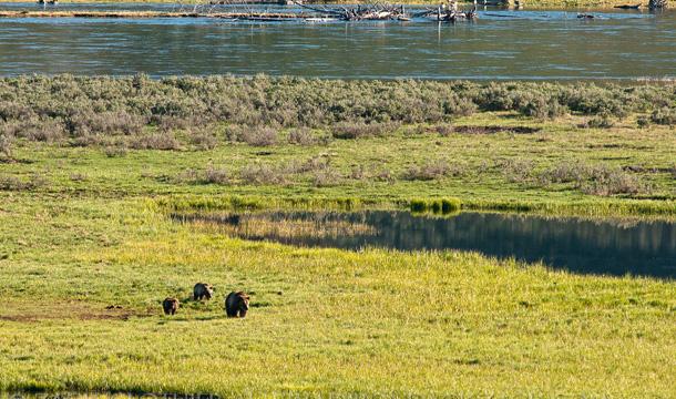 yellowstone-park-niedzwiedzie