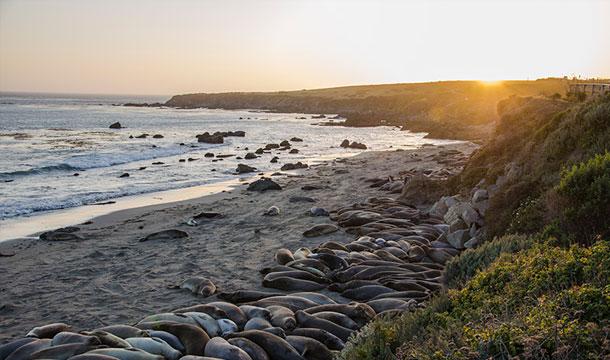 California - słonie morskie na plaży